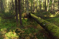 Мох растя на имени пользователя древесины Упаденный мох покрыл лож дерева на поле леса одичалого гераниума покрытом Стоковые Фотографии RF