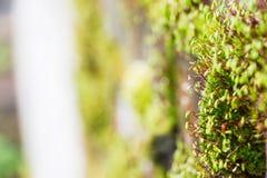Мох растя на кирпичной стене Стоковое Изображение