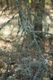 Мох (северный северный олень) на предпосылке леса Стоковое Изображение