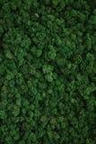 мох стабилизированный концом-вверх Стоковые Изображения