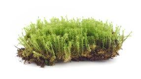 мох Стоковое Изображение