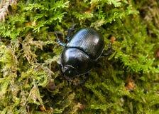 мох dor жука Стоковые Изображения RF