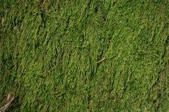 Мох Hypnaceae Стоковое Изображение