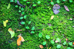 Мох, thallophytic, лишайник Стоковые Фото