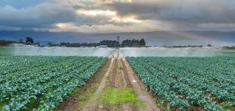 Моча урожай брокколи Стоковое фото RF