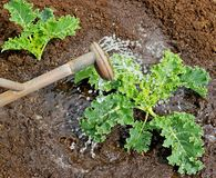 мочить kale сада Стоковая Фотография RF