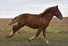 Мощная сильная лошадь разводит русское сверхмощное стоковые изображения rf