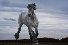 Мощная сильная лошадь разводит русское сверхмощное стоковое изображение rf