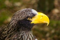 Мощное Steller& x27; портрет орла моря s Стоковое Изображение