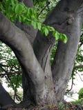Мощные ветви дерева растя от хобота на очень земле в различных направлениях Оно смотрит очень необыкновенный и Стоковые Фото