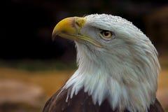 Мощный американский орел в естественной среде обитания Стоковое Изображение