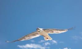 Мощный удар крыла Стоковое Фото