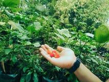 Моя клубника в саде стоковые фотографии rf