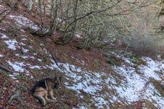 Моя собака немецкой овчарки и снег Стоковое фото RF