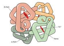 Молекула гемоглобина Стоковое Фото