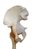 модель вальмы Стоковая Фотография