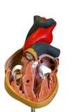 модель сердца Стоковая Фотография RF