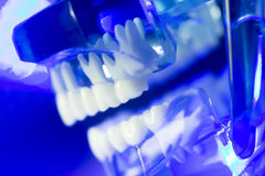 Модель зубоврачебных зубов клиническая Стоковая Фотография