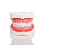 Модель зубов дантиста ортодонтическая при закрытая челюсть Стоковая Фотография