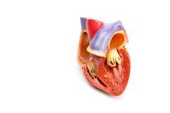 Модель открытого человеческого сердца изолированного на белой предпосылке Стоковое Изображение