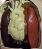 Модель сердца и легкего Стоковое фото RF