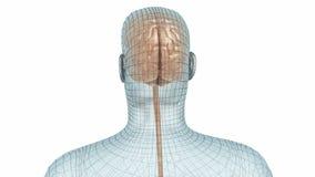 Модель человеческого мозга и провода тела видеоматериал