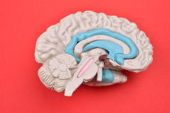 модель человеческого мозга 3D от external на красной предпосылке стоковые фото