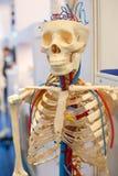 Модель человеческого тела, косточки Стоковое фото RF