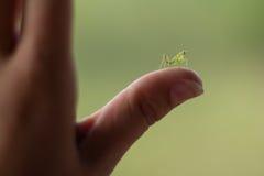 молить mantis младенца Стоковые Фото