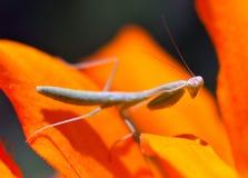 Молить, Mantis, насекомое, цветок Стоковые Фотографии RF