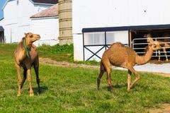 Молокозавод верблюда Lancaster County Стоковое фото RF