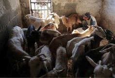 Молоко козы чертежа фермера окруженное животными на конюшне Стоковое Изображение