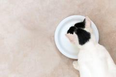молоко кота выпивая Стоковое Фото