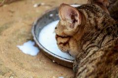 молоко кота выпивая Стоковые Фотографии RF