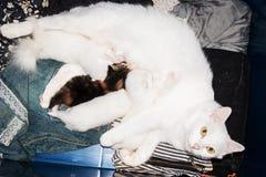 Молоко кота мамы подавая Стоковая Фотография RF