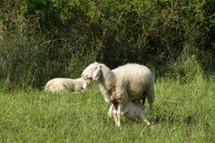 Молоко питья овечки Стоковое Изображение