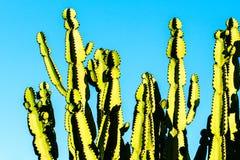 Молочай кактуса Стоковое Изображение RF