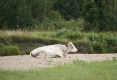 Молочная корова Голштини отдыхая на траве Стоковое фото RF