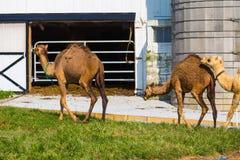 Молочное стадо верблюда Lancaster County Стоковая Фотография RF