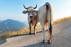 2 молочной коровы Стоковая Фотография RF