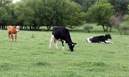 Молочные коровы Висконсина на зеленом выгоне Стоковое фото RF