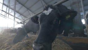 Молочные коровы в камере обнюхивать коровника Весьма взгляд глаза муравьев крупного плана сток-видео
