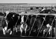 Молочные коровы в конюшне на ферме Стоковое фото RF