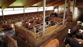 Молочные коровы в конюшне видеоматериал