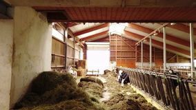 Молочные коровы в конюшне сток-видео
