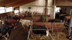 Молочные коровы в конюшне акции видеоматериалы