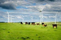 Молочные коровы в поле с ветровой электростанцией в предпосылке Стоковые Изображения
