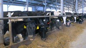 Молочные коровы в современной конюшне Широкая съемка видеоматериал
