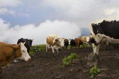 Молочные коровы в ферме Стоковые Изображения RF