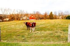 Молочные коровы в Franconia Стоковое Фото